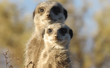Meerkats are among the 5% of truly monogamous animals on Earth